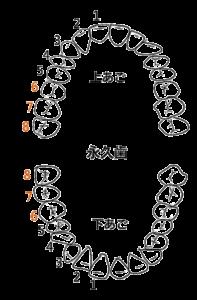乳歯の歯列と名前と生える時期