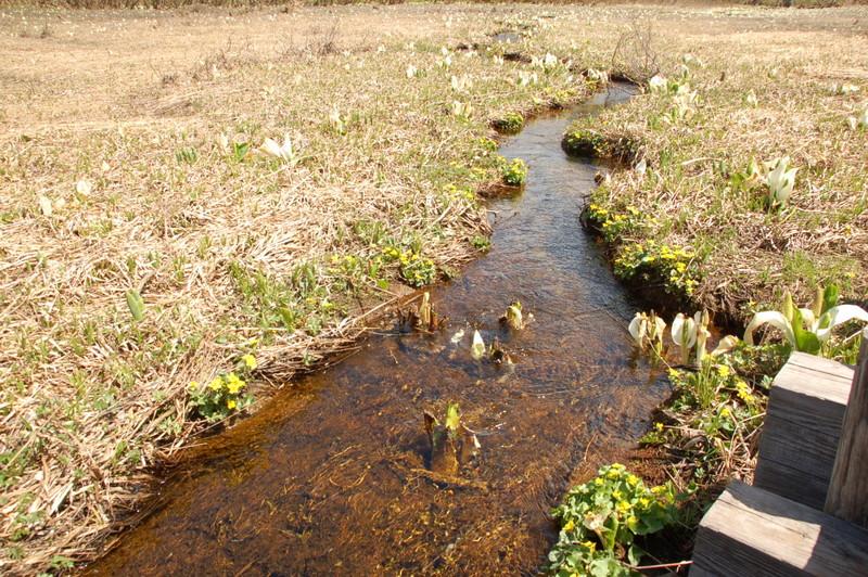 尾瀬の川、ミズバショウとリュウキンカ