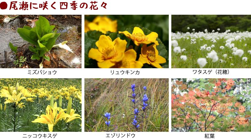 尾瀬の花々